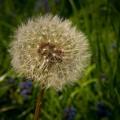 dandelions-335574_640